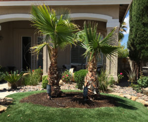 Palm Tree Trimming Las Vegas. Pro Green Land Landscaping.