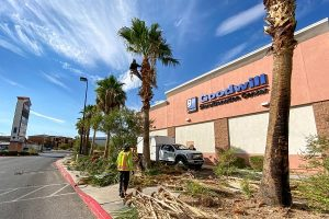 Commercial Palm Tree Service LV