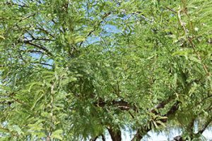 Mesquite Tree For Desert Landscape