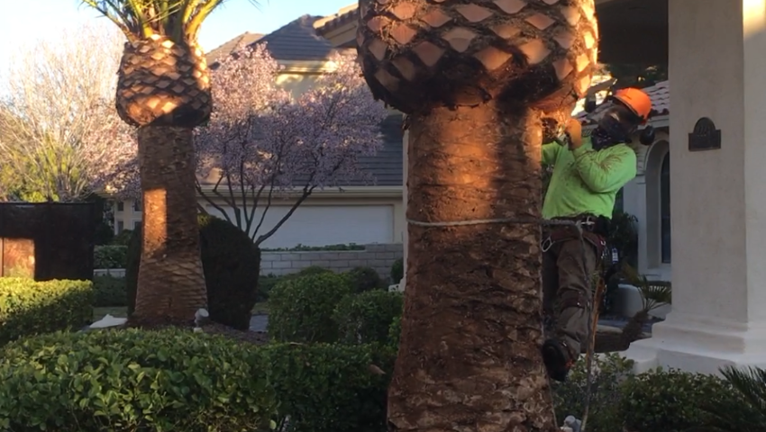 When's The Best Time To Trim Palm Trees?